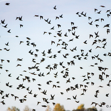 A flock of starlings. Autumn.