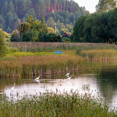 Egrets on the river Svolna