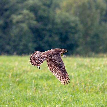 Huntsman Igor Bashkirov teaches the Goshawk to hunt