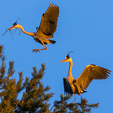 Family chores. Gray Herons