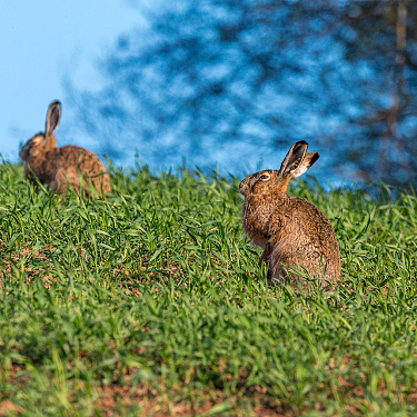 Hares rest ...