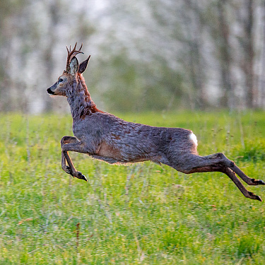 Flying male roe deer